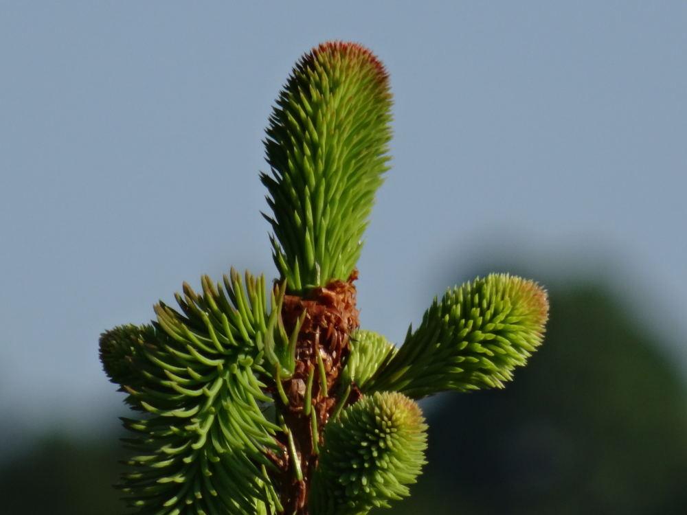 Makroaufnahme Spitze Tannenbaum