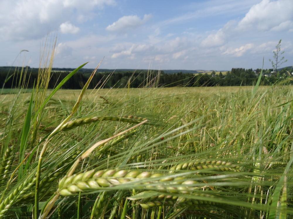 Getreidefeld in Sachsen, Erzgebirge: Philipp Schuster (@phip1611)