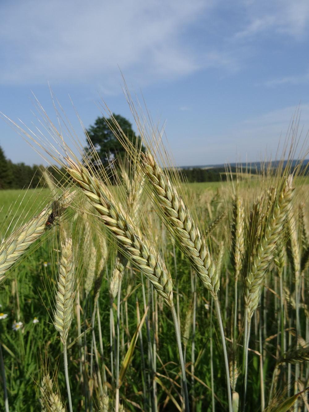 Getreidefeld in Sachsen, Erzgebirge: Philipp Schuster (@phip1611), 17.07.2015
