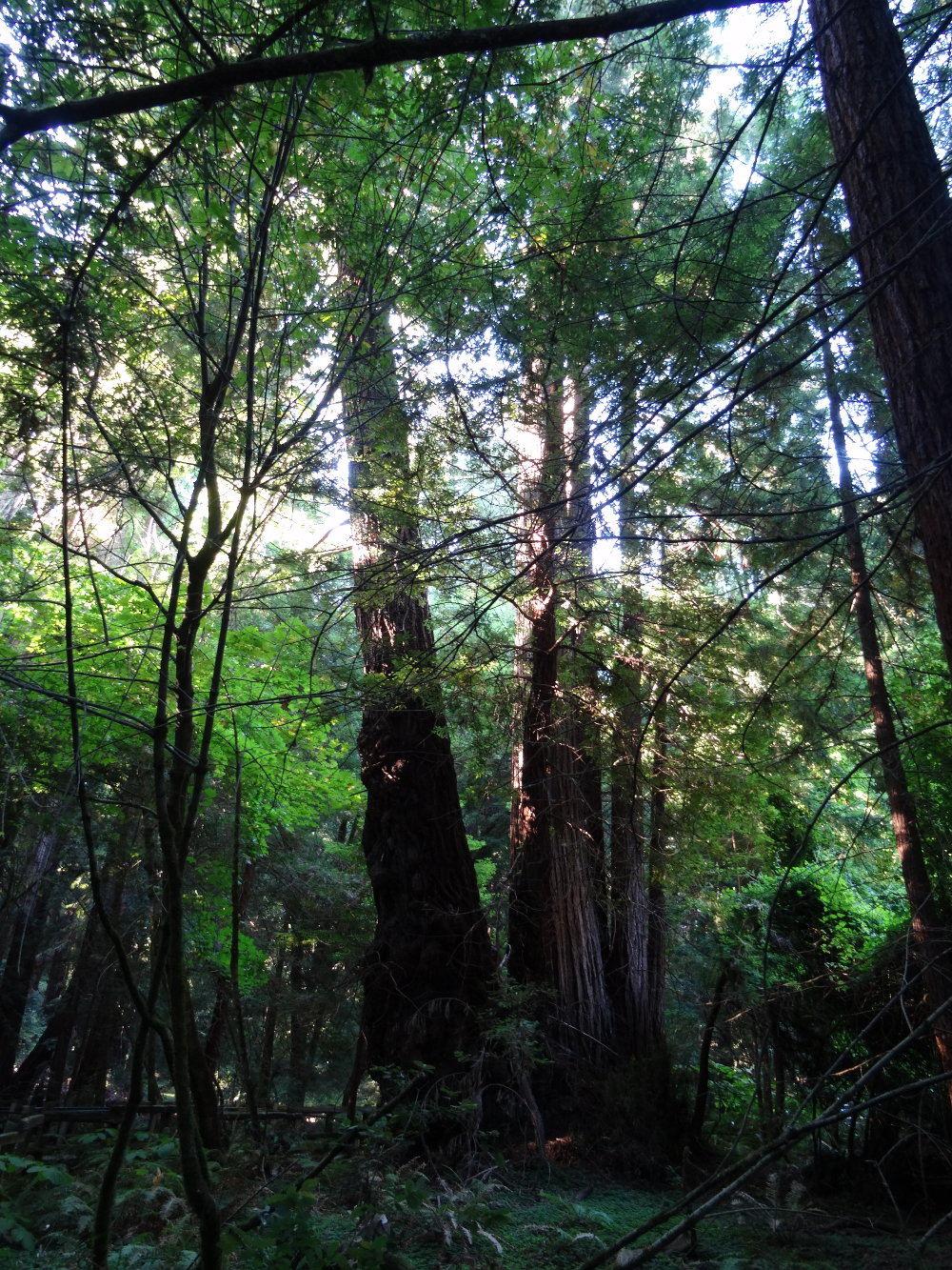 Muir Woods - Sequoia-Bäume