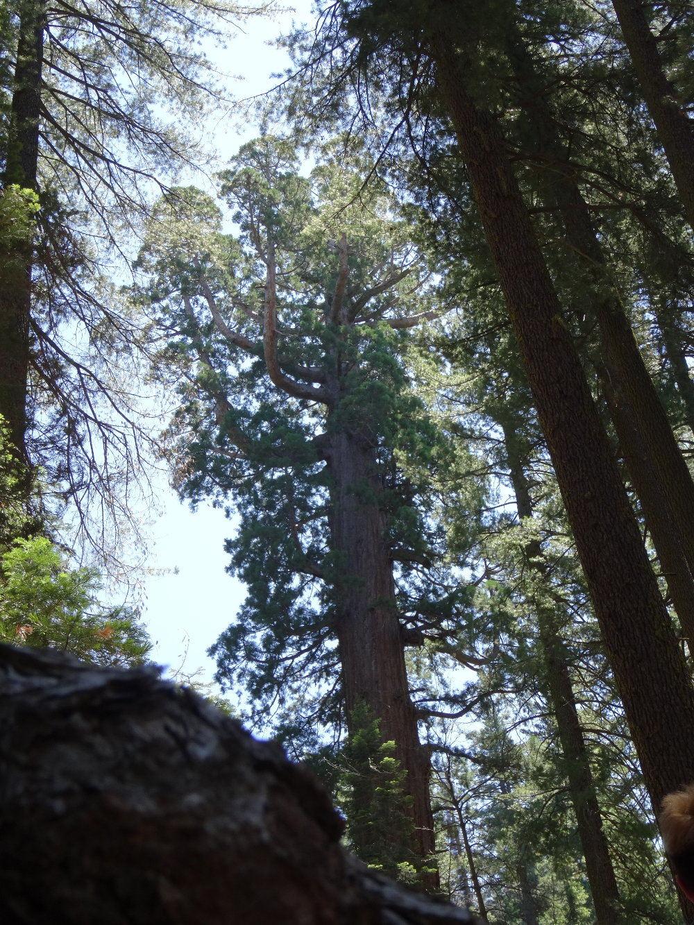 Das Astwerk ist beängstigend mächtig. - Riesenmammutbäume/Sequoias im Yosemite Nationalpark (bis zu 70m und mehr)