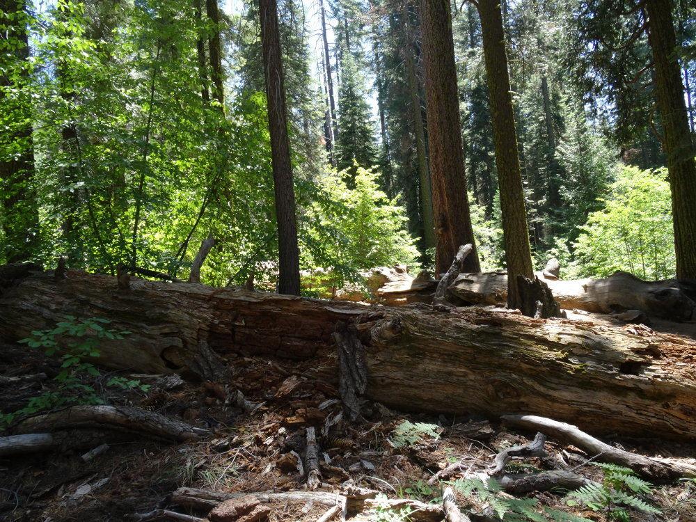 Riesenmammutbäume/Sequoias im Yosemite Nationalpark (bis zu 70m und mehr)