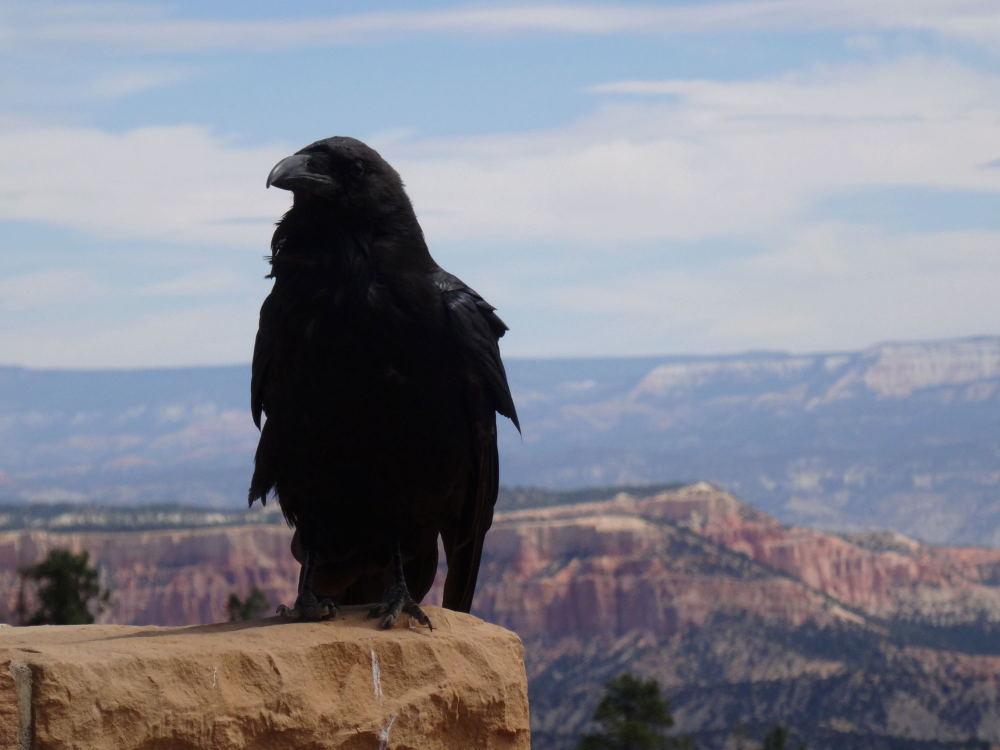 Der Vogel war sehr zutraulich. Ich bin bis auf 10cm an ihn heran gekommen. - Bryce Canyon, Utah