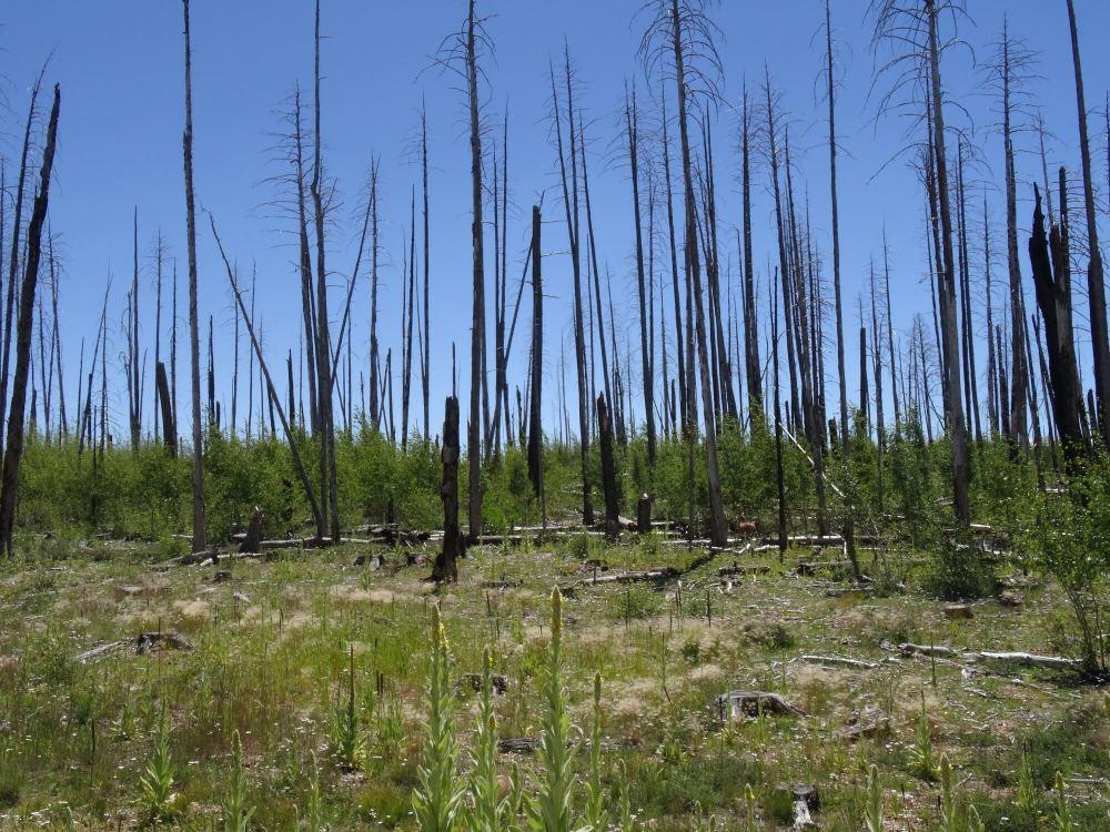 Abgestorbene Bäume in der riesigen Landschaft nördlich des North Rim (Auf dem Weg zum South Rim)