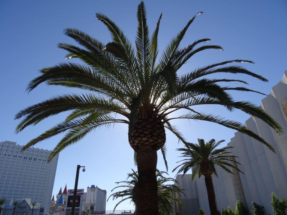 Eine Palme beim MGM Grand Hotel. Im Hintergrund sieht man das Excalibur Hotel & Casino.