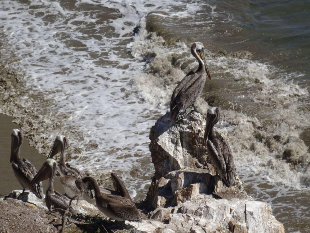 Pelikane an der Kalifornischen Pazifikküste am 14.08.2015