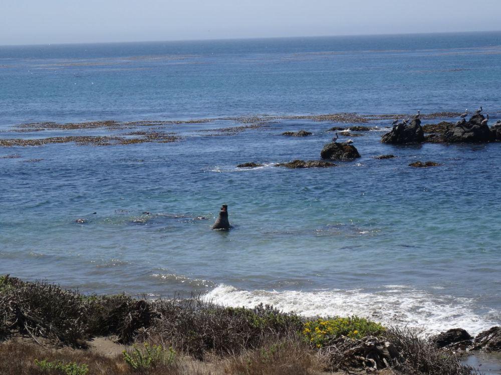 Seeelefant im Wasser - Kalifornische Pazifikküste am 15.08.2015