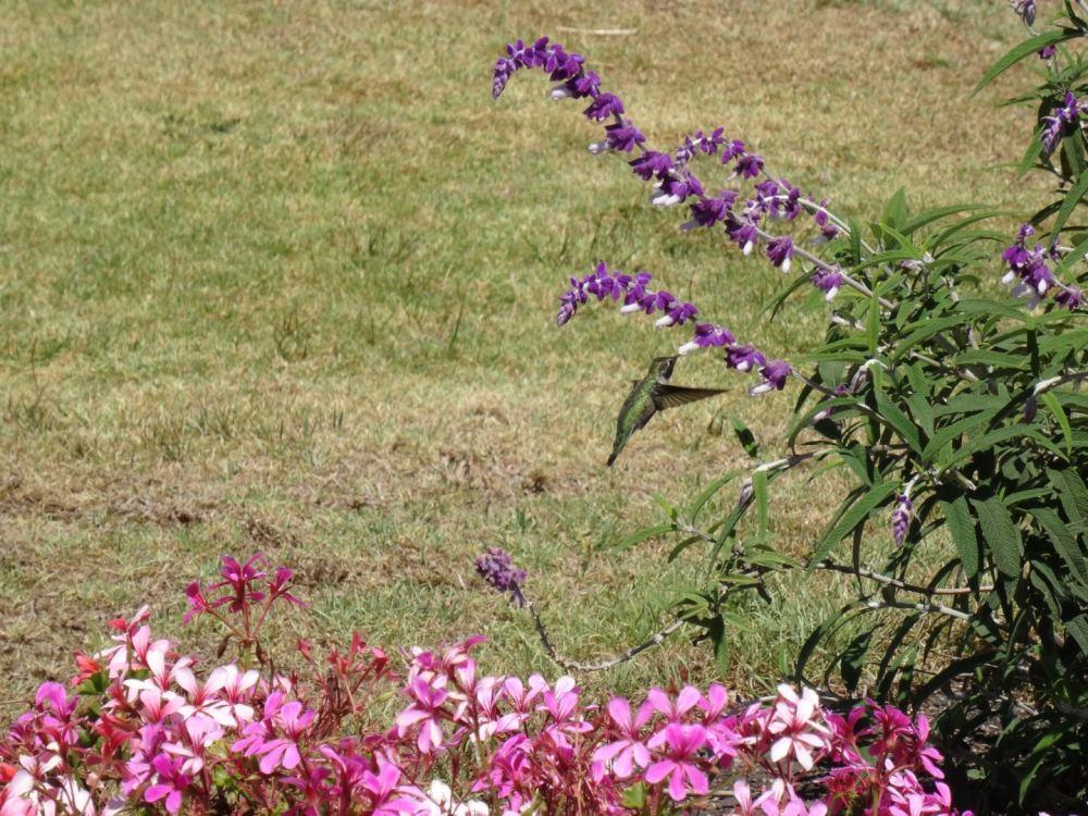 Kolibri im Flug (extremst flink, fotografieren war sau schwer) - Kalifornische Pazifikküste am 15.08.2015