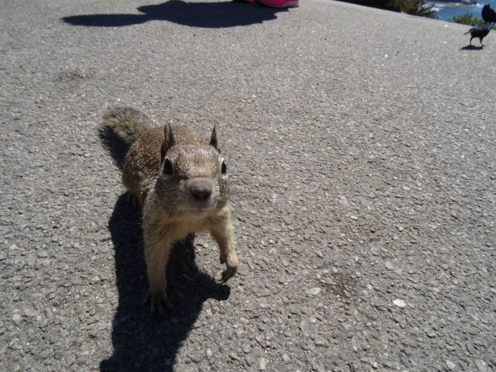 An der einen Raststelle haben und Dutzende süße Eichhörnchen besucht und wollten Futter haben - Kalifornische Pazifikküste am 15.08.2015