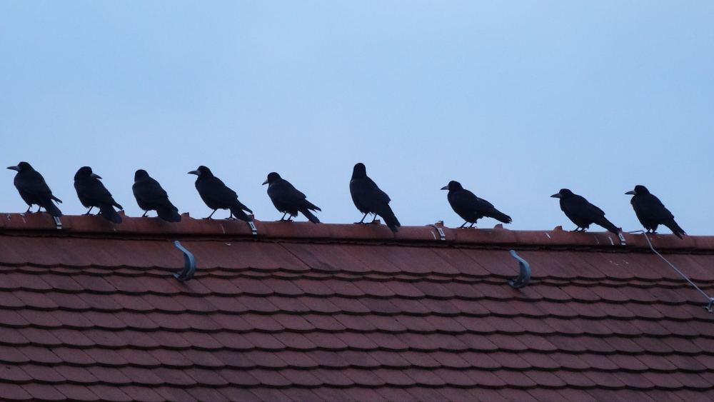Vögel auf dem Dach in Reih und Glied | 14.01.2016 16 Uhr